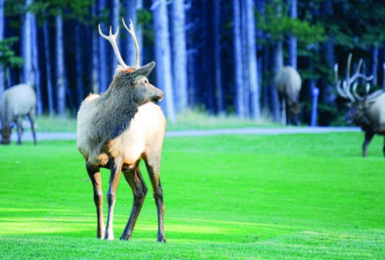 Elk  Fairmont Banff Springs Golf Course, Banff, AB